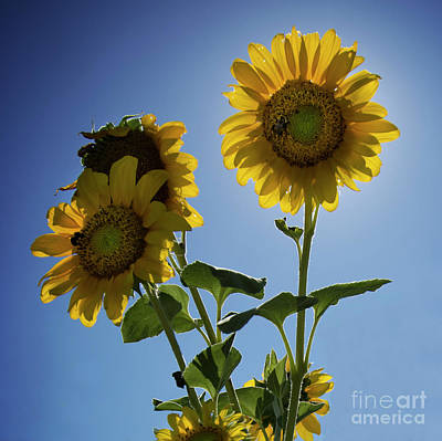 Print featuring the photograph Sun Flowers by Brian Jones