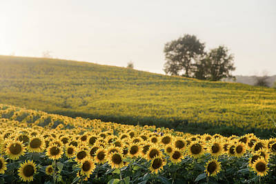 Photograph - Sun Flowers II by Ryan Heffron