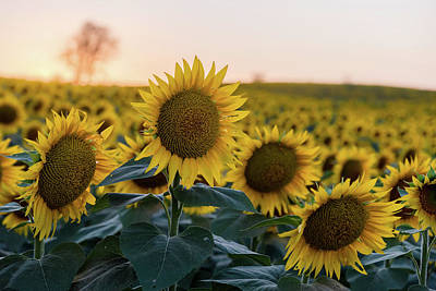 Photograph - Sun Flowers IIi by Ryan Heffron