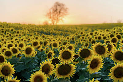 Photograph - Sun Flowers Iv by Ryan Heffron
