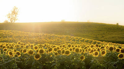 Photograph - Sun Flowers by Ryan Heffron