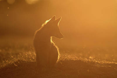 Sun Gazing Fox Art Print