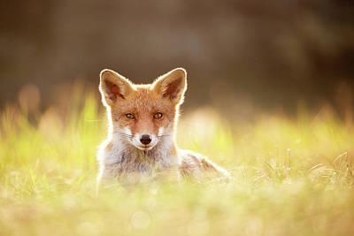 Sun Gazing Red Fox Art Print by Roeselien Raimond