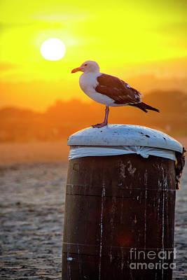 Photograph - Sun Gull by Ken Johnson