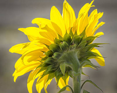 Photograph - Sun In Sunflower by John Brink