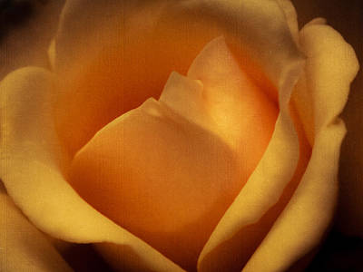 Sun-kissed Rose At Dusk Art Print