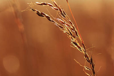 Photograph - Sun Kissed Wild Rye by Joni Eskridge