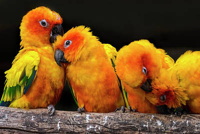 Photograph - Sun Parakeets by Arterra Picture Library