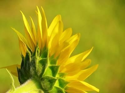 Photograph - Sun Petals by MTBobbins Photography