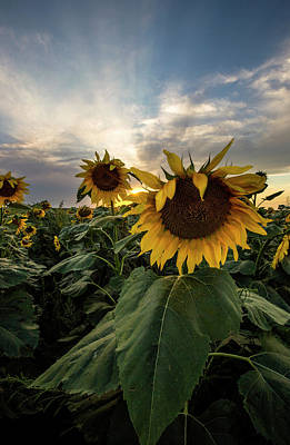 Sunflowers Royalty-Free and Rights-Managed Images - Sun Rays  by Aaron J Groen