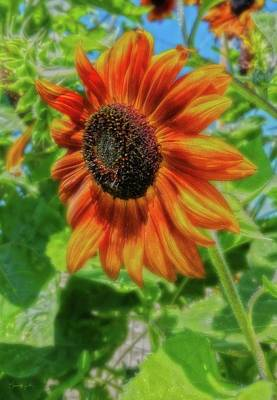 Photograph - Sun Shower Sunflower by Amanda Smith