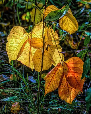 Photograph - Sun Soaked Autumn Leaves by Trey Foerster