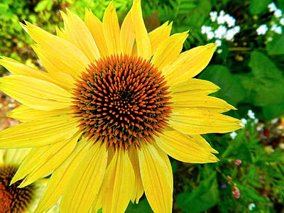 Photograph - Sun Soaked Echinacea by Randy Rosenberger