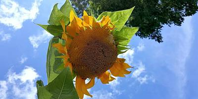 Photograph - Sun Sun Flower 1 by Rob Hans