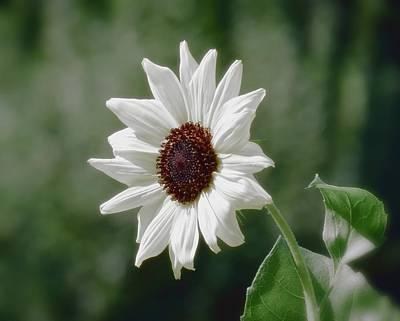 Photograph - Sun White Flower - Sunflower by MTBobbins Photography