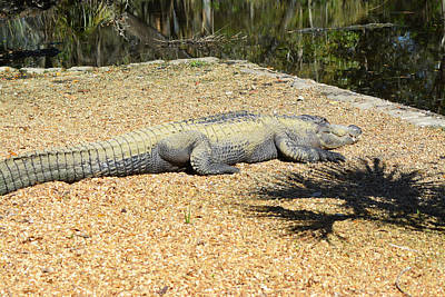 Photograph - Sunbathing Alligator by Aimee L Maher Photography and Art Visit ALMGallerydotcom