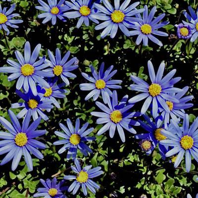 Photograph - Sunbathing Blue Daisies by Lynda Anne Williams