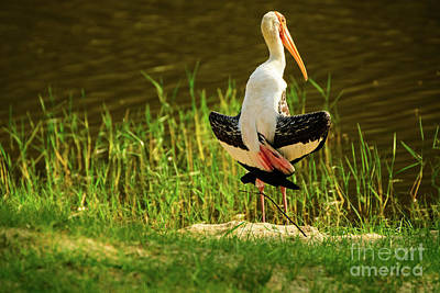 Photograph - Sunbathing Delta-winged Painted Stork  by Venura Herath