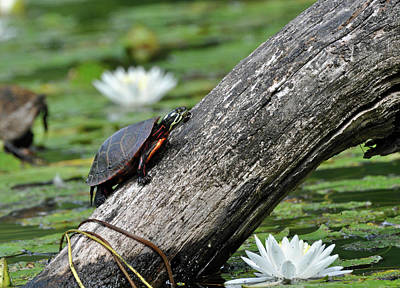Print featuring the photograph Turtle Sunbathing by Glenn Gordon