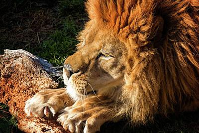 Photograph - Sunbathing King by Travis Rogers