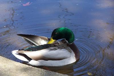 Painting - Sunbathing Mallard by Donna Drake