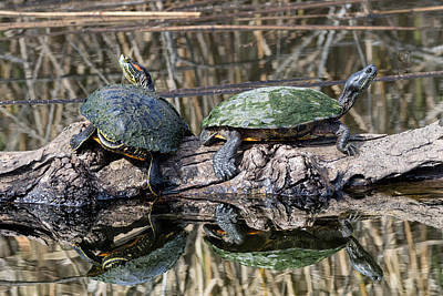 Photograph - Sunbathing Terrapins Reflected by Kathleen Bishop