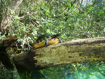 Slider Photograph - Sunbathing Turtle by Aimee L Maher Photography and Art Visit ALMGallerydotcom