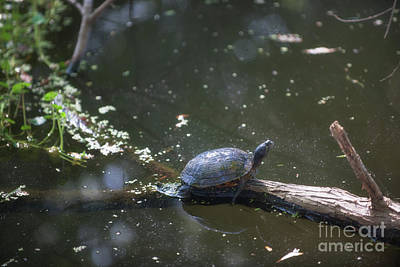 Photograph - Sunbathing Turtle by Dale Powell
