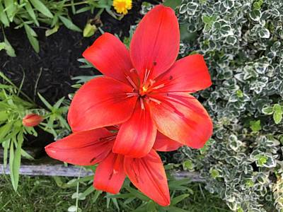 Photograph - Sunbeam On Red Day Lily by Ruth H Curtis