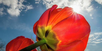 Sky Photograph - Sunbeams And Tulips by Adam Romanowicz