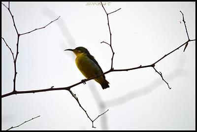 Photograph - Sunbird by Sonali Gangane