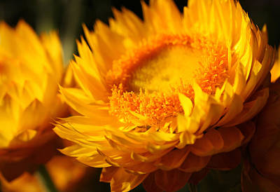 Strawflower Photograph - Sunburn by Connie Handscomb