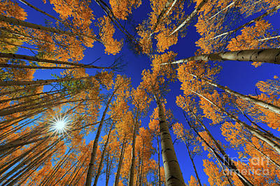 Photograph - Sunburst Aspen by Doug Sturgess