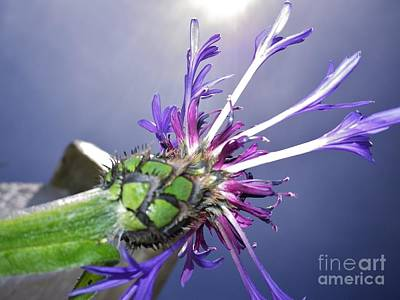 Photograph - Sunburst Cornflower by Richard Brookes