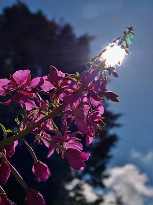 Photograph - Sunburst Foxglove by Richard Brookes