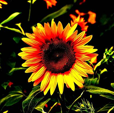 Sunburst Of The Sunflower Art Print by Marc Mesa