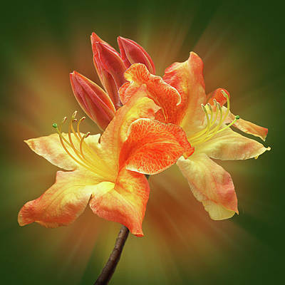 Photograph - Sunburst Orange Azalea by Gill Billington