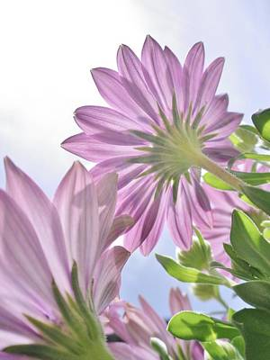 Photograph - Sunburst Osteospermum by Richard Brookes