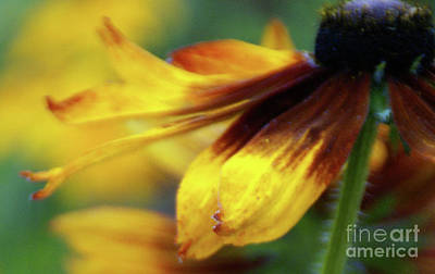 Photograph - Sunburst Petals - 2 by Linda Shafer