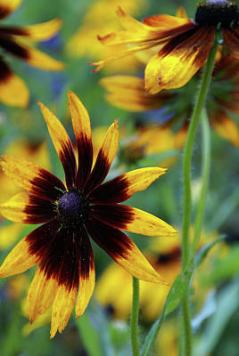 Photograph - Sunburst Petals by Linda Shafer