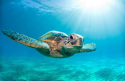 Underwater Photograph - Sunburst Sea Turtle by Monica and Michael Sweet