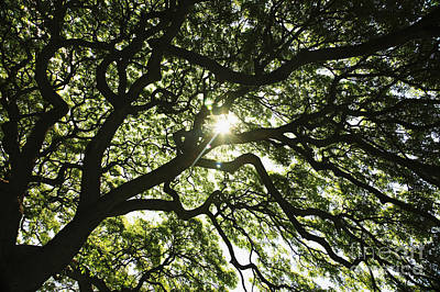 Sunburst Through Tree Art Print