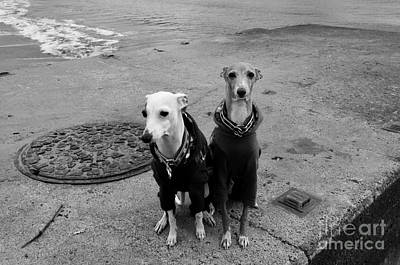 Whippet Photograph - Sunday Best by Dean Harte