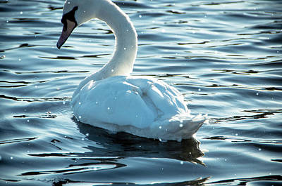 Photograph - Winter Swan by Marilyn Wilson