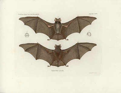 Drawing - Sundevall's Roundleaf Bat by A Andorff