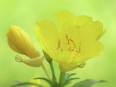 Photograph - Sundrops Floral On Green by MTBobbins Photography