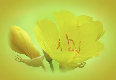 Photograph - Sundrops - Vignette - Cropped by MTBobbins Photography