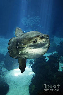 Underwater View Photograph - Sunfish Mola Mola by Gerard Lacz
