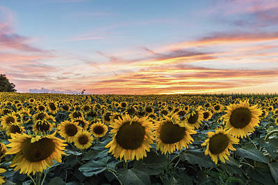 Photograph - Sunflowers At Sunset by Ray Sheley