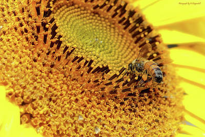 Photograph - Sunflower 001 by Kevin Chippindall